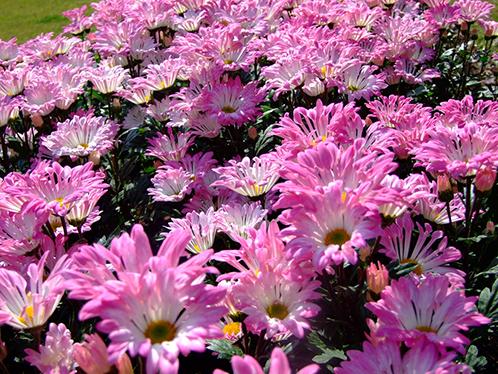 цветы Хризантема сибирская фото