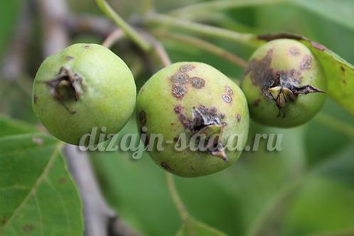 парша на яблоне лечить