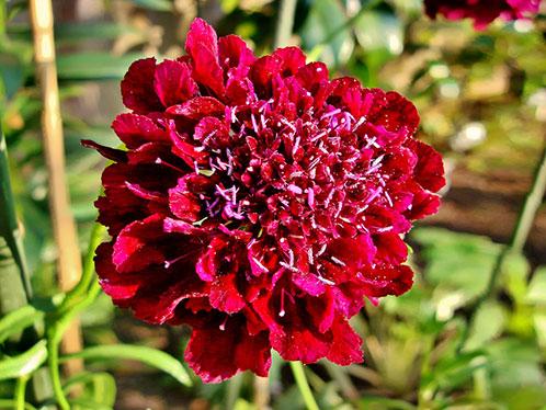цветы Скабиоза фото