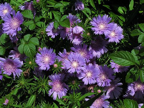 цветы Стокезия фото