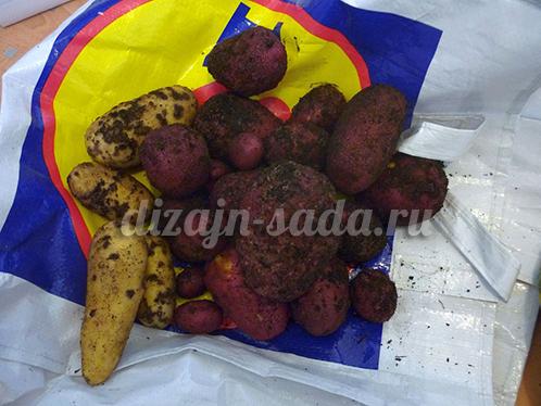 парша картофеля фото