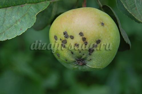 как лечить паршу яблони