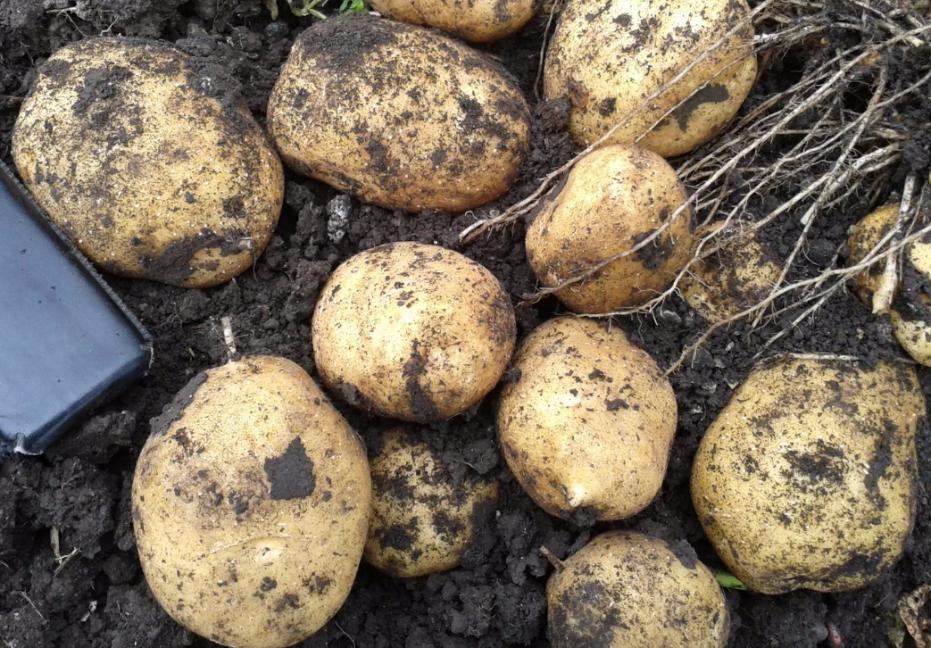 картофель Адретта фото