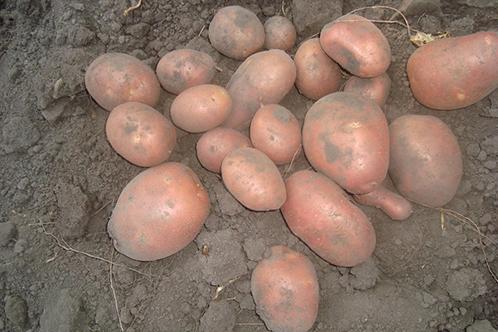 картошка сорт беллароза