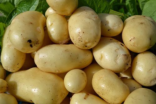 лучшие сорта картофеля
