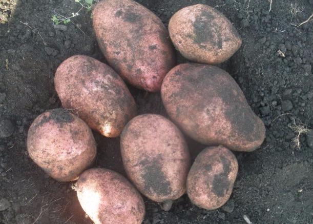 картофель Каменский фото