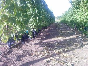 сорта винограда фото описание