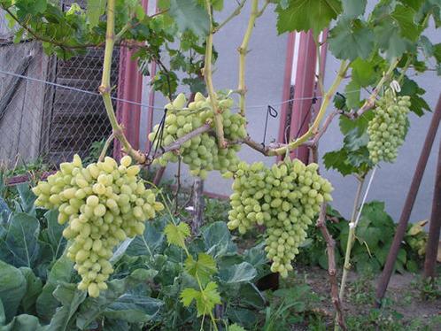 сорта винограда топ 10
