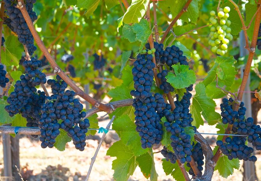 понять когда фото разновидностей винограда продажи поделки