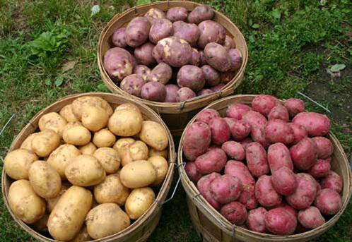 хорошие сорта картофеля