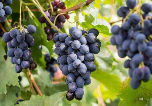 виноград сорта саперави фото