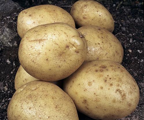 хороший сорт картофеля