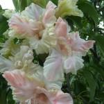 гладиолус роса в изумруде
