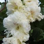 гладиолус москва белокаменная