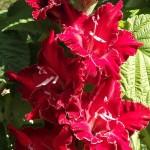 гладиолус сокровище скорпиона