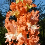 гладиолус фриззелд корал лейс