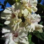 гладиолус янтарные росы