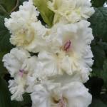 гладиолус белый пудель