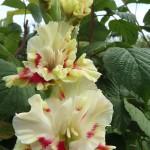 гладиолус веснянка