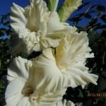 гладиолус ананда