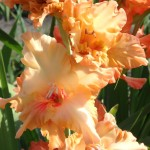 гладиолус аромат солнца