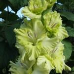 гладиолус зеленая фея