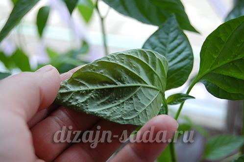 пупырышки на листьях перца