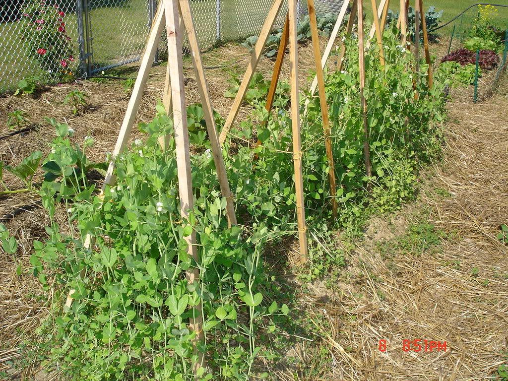 Агротехника выращивания гороха в открытом грунте 16