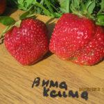 клубника Вима Ксима фото