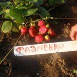 клубника Фламенко фото