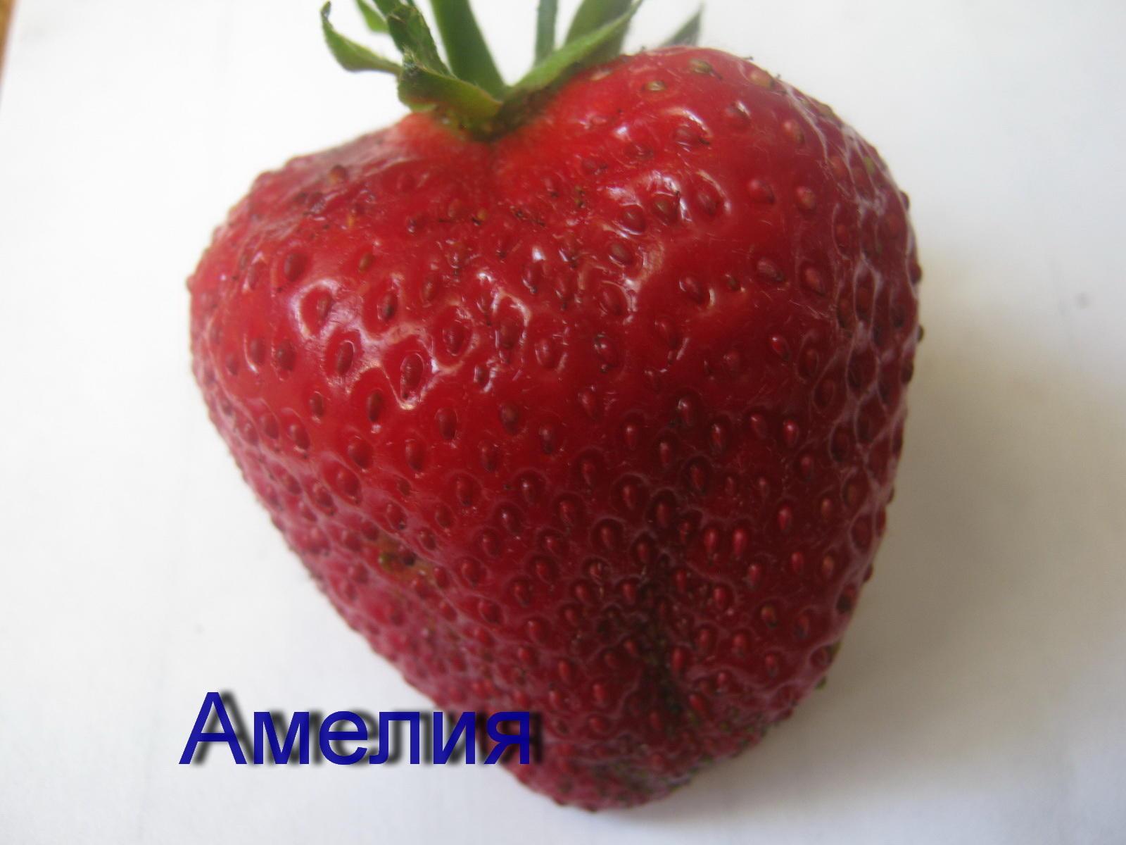 клубника Амелия фото