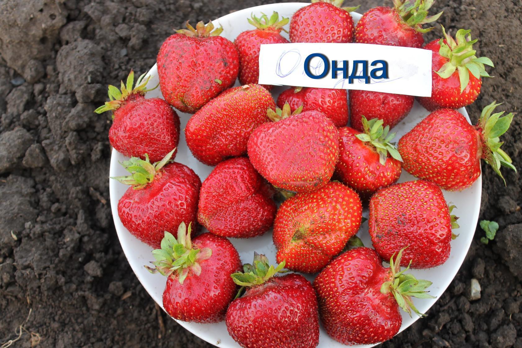клубника Онда фото