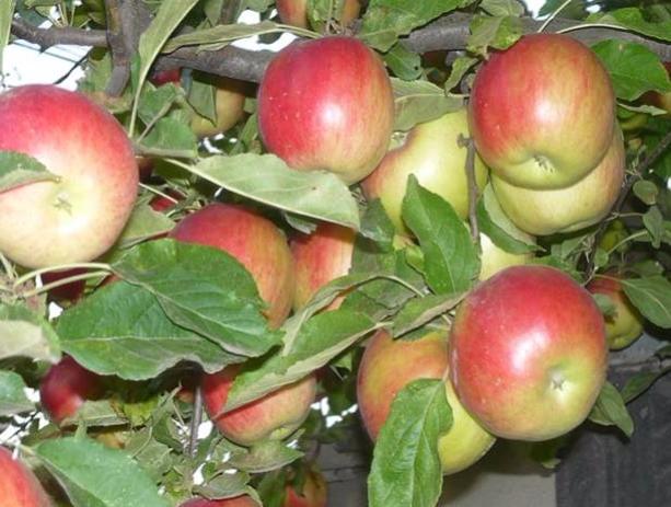яблочный уксус рецепты