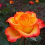 роза Циркус