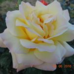 розы Глория Дей Gloria Dei