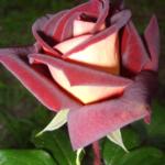 роза Эдди Митчел