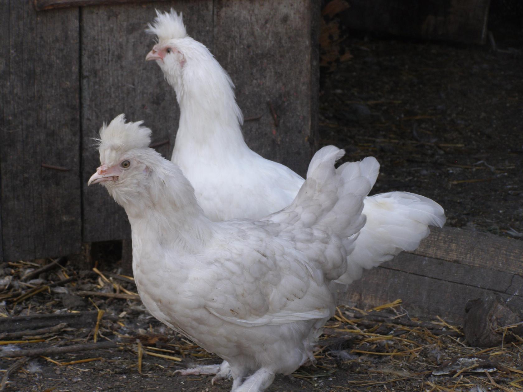 павловские куры белые