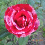 роза Анри Матис