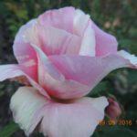 роза Клод Моне
