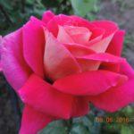 роза Кроненбург
