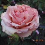роза Марракеш