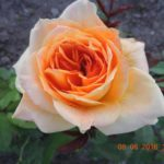 розы Микеланджело
