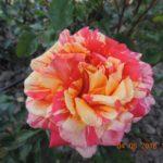 роза Пападжено джина