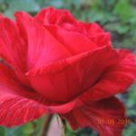 роза Ред интуишн
