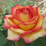 роза амбиас
