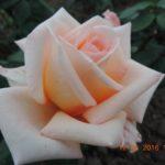 роза Эмми