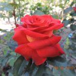 роза Эстелла
