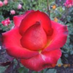 роза Легенда