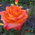 розы Бирди