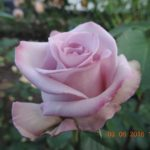розы Блу берд Blue Bird